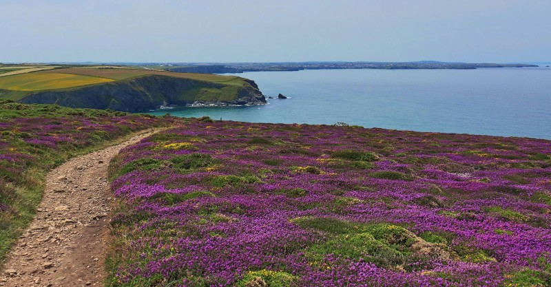 Cornish clifftop with flowers in foreground