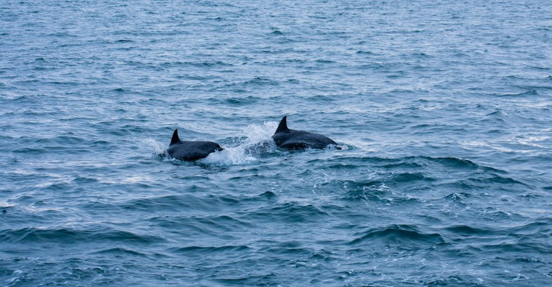 two dolphins breaching